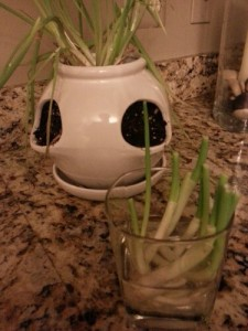 How to grow green onions from kitchen scraps