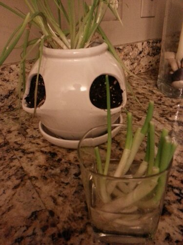 Green onions grown from kitchen scraps