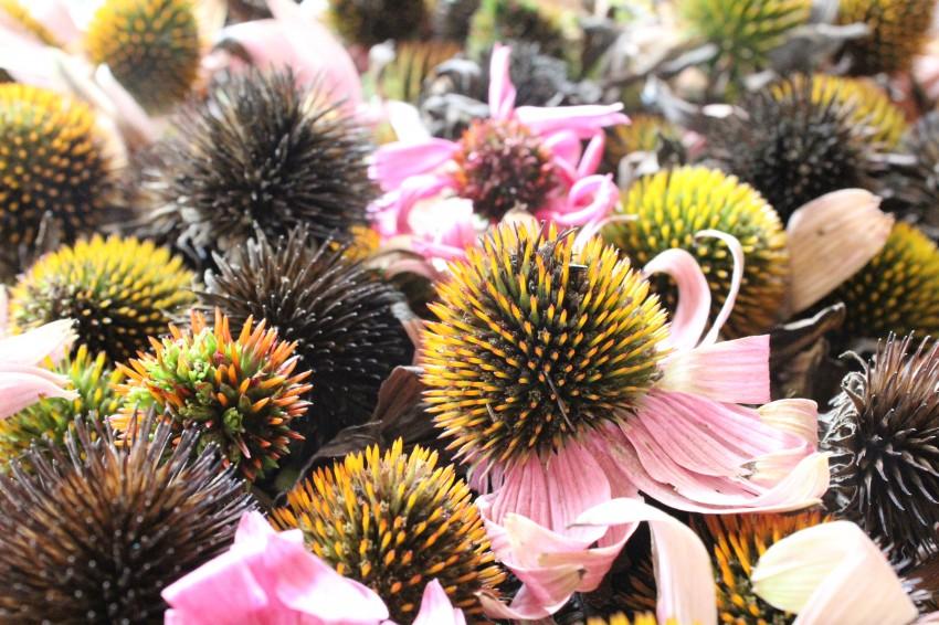 harvesting echinacea seeds