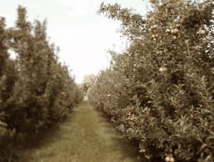 Harvest Time - Apple Orchard