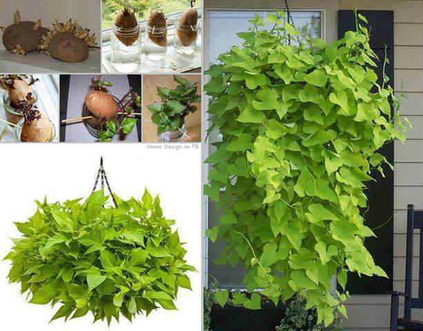 Growing Sweet Potatoes In Hanging Planters